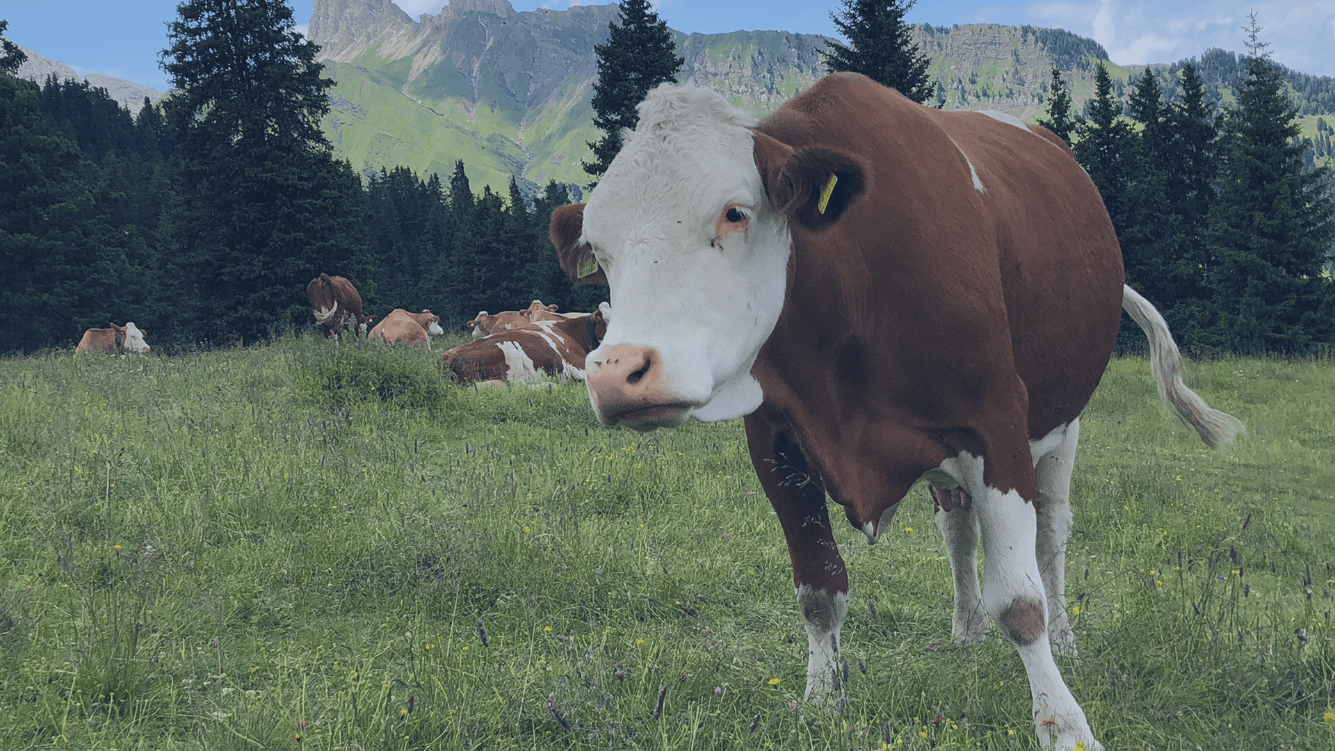 Kühe auf Wiese in den Bergen